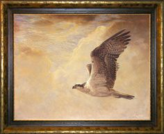 Osprey. (Pandion haliaetus)