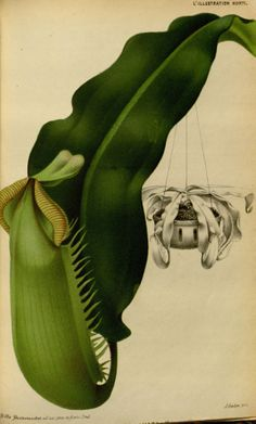 nepenthes veitchi - high resolution image from old book.Size in pixels: Plant Illustration, Botanical Illustration, Flower Illustrations, Plante Carnivore, Pitcher Plant, Carnivorous Plants, Vertebrates, Shrubs, Mammals