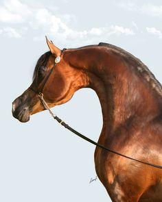 Pyro Thyme SA :: Argent Farms LLC :: Distinctive Arabian Horses