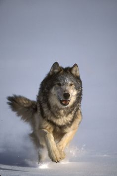 wolf, by Jeffrey Rich Wolf Images, Wolf Photos, Wolf Pictures, Animal Pictures, Beautiful Wolves, Animals Beautiful, Tier Wolf, Animals And Pets, Cute Animals