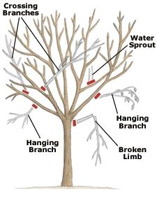 When to prune trees - excellant directions done by Master Gardener.