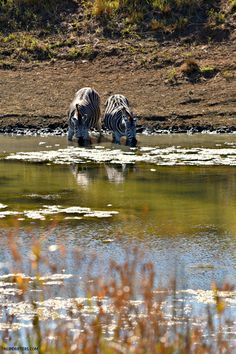 Zebras drinking water at Tala Private Game Reserve