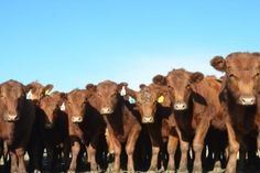 Herd health: Vaccinations for the cow-calf operation | Cattle Network