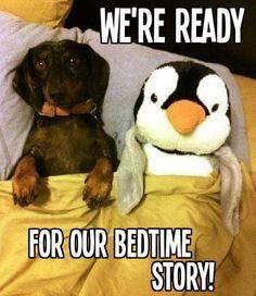 Dachshund Penguin Cuddly Toy ready for their bedtime story Dachshund Funny, Dachshund Love, Funny Dogs, Funny Animals, Cute Animals, Daschund, Baby Animals, Love My Dog, Puppy Love