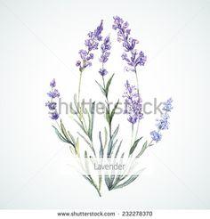 Lavender Photos et images de stock | Shutterstock