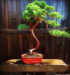 #juniper #japanese #bonsai #tiny #tinytrees #asiangarden #asianart #asianstyle #patience #passion #landscape #landscape_captures #livelovegeelong #bellarinepeninsula #bellarinebonsai#surfcoastgardens#surfcoast #oceangrove #christianjcreations by christianjcreations http://ift.tt/1JO3Y6G