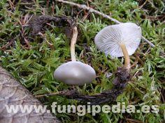 Strobilurus esculentus var griseus es un hongo del orden Tricholomatales también conocido como Collybia esculenta var griseus, Collybia comestible... ver más información.