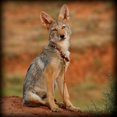 The Daily Coyote by Shreve Stockton    thedailycoyote.net