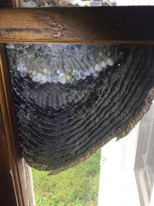 Baldfaced hornets made their nest on a window, allowing an inside view