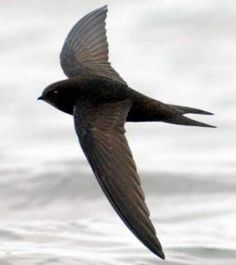 Swift (apus apus) - flying over my house - July 2010  ( Gierzwaluw )