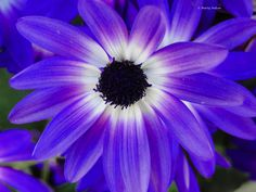 Purple bi-color daisy. ©Photo copyright by Marty Nelson. Photographer website: http://martynelsonphotoart.wix.com/mn-photo-art