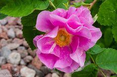 Google+ Rose, Google, Flowers, Plants, Pink, Plant, Roses, Royal Icing Flowers, Flower