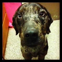 Brody - MI is an adoptable Catahoula Leopard Dog Dog in Lake Orion, MI  *******Available for Adoption March 1st******Brody is a wonderful young lad that has just ... ...Read more about me on @petfinder.com