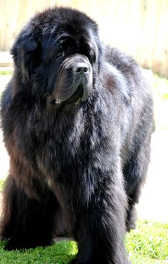 Newfoundland Dog: I love newfs and Kosmo is one of my faves.    (credit DreamTime Newfs http://dreamtimenewfs.com)