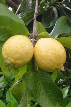 Fruit Plants, Fruit Garden, Fruit Trees, Fresh Fruits And Vegetables, Fruit And Veg, Fruit Bearing Trees, Guava Tree, Guava Fruit, Guava Leaves