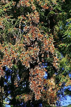 Millions of Monarch Butterflies    Zitacuaro,  Mexico