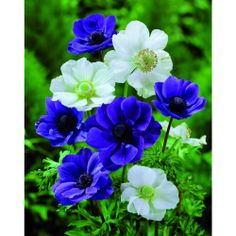 Anemon De Caen - £2; Plant Mar-May