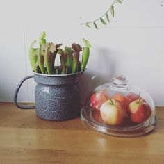 Насекомоядные в правильном горшке. Herfst #apples #apple #plants #plant #kitchen #vintage #glass #sarracenia #fiona #autumn #herfst #planten #appels #appel #keuken #emaille #carnivorousplants #carnivorousplant #carnivoroustagram ( # @c__n__b ) #ulsk #ульяновск #аквамолл #ulyanovsk #насекомоядные #exoticflora