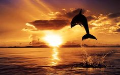dolphin sunset wallpaper