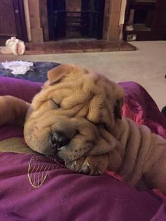 Shar Pei Puppies, Cute Puppies, Dogs And Puppies, Baby Animals, Funny Animals, Cute Animals, Wrinkle Dogs, Pet Dogs, Dog Cat