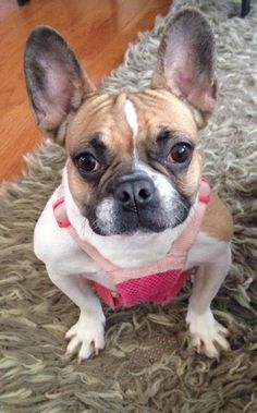 Hazel is an adoptable French Bulldog searching for a forever family near Evanston, IL. Use Petfinder to find adoptable pets in your area.