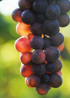 Pinot gris, Balaton