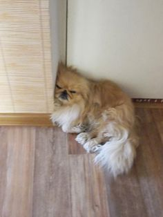 Security doors by cream Pekingese.The model for my toys Yorkies, Pekingese Puppies, Teacup Puppies, Baby Puppies, Cute Puppies, Cute Dogs, Dogs And Puppies, Fu Dog, Dog Cat