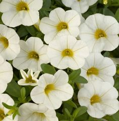 The Noa White Calibrachoa plant will produce medium sized, whipped-cream white flower blossoms with yellow throats in non-stop blooming fashion.