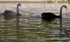 Cisne negro | Flickr: Intercambio de fotos