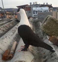 Pigeon Pictures, Pigeon Breeds, Homing Pigeons, Pigeon Loft, Dove Pigeon, Palomar, Bird Wings, Rare Birds, Kinds Of Birds