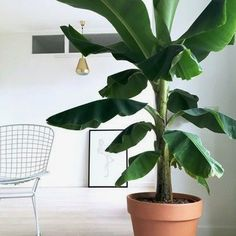 Introducing 6 Modern Tropical Leaves Help You Find Home Decor - TheGardenGranny Big Leaf Plants, Big Indoor Plants, Indoor Trees, Outdoor Plants, Plant Leaves, Big Leaf Indoor Plant, Tropical House Plants, Tropical Houses, Tropical Leaves