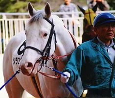W14 is a deletion mutation on Exon17, found in Thoroughbreds. The founder of the W15 dominant white mutation is Shirayukihime (1996), in the photo. These horses are mainly Japanese Thoroughbreds, the majority pure white. Some have gor partially blue coloured eyes. There are also sabino-like individuals with this mutation.