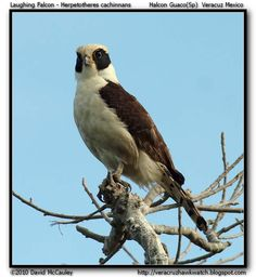 Laughing falcon Herpetotheres cachinnans