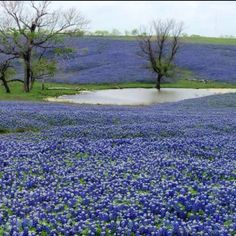 Texas in the spring....fields are full of bluebonnets