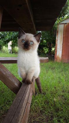 cuteanimalspics: My Siamese Kitten (Source: http://ift.tt/1LUBV3I) blue……………….……..