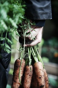 Allotment Carrots
