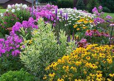 Massif d'été de vivaces: Rudbeckias ( jaunes) Marguerites, échinacées pourpres, grands phlox roses et blanc et à feuillage panaché