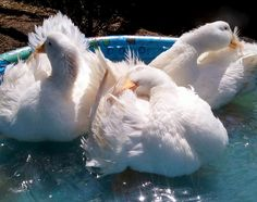 Treating and Preventing Wet Feather in Ducks