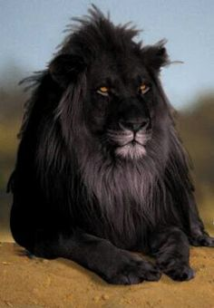 Black Lion: The opposite of albinism called melanism, a recessive trait where the skin and fur are all black.