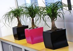 office plant displays. Curvy Black And Hot Pink Desktop Office Plant Displays Planted With Beaucarnea Nolina Brighten Up A