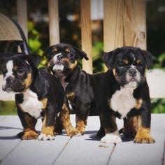 English bulldog puppies!                                                                                                                                                                                 More