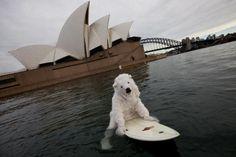 Orso polare a Sydney