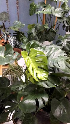 Ever wondered how to care for and propagate your monstera plant? Monstera plant care and propagation is fairly simple. Monstera Deliciosa, Garden Care, Faux Philodendron, Low Maintenance Indoor Plants, Best Indoor Plants, Outdoor Plants, Cool Plants, Indoor Plants India, Vertical Gardens