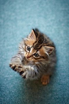 adorable little maine coon kitten