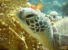 Great close-up of a sea turtle at Sharm el-Sheikh - www.my-divespot.com