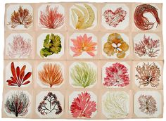 A collection of seaweed from the Jersey area of the United Kingdom, circa 1850s. Courtesy the Natural History Museum, London.