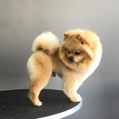 Pomeranian Haircut, Pomeranian Facts, Cute Baby Animals, Animals And Pets, Dog Grooming Tips, Pomeranians, Pom Poms, Pet Shop, Doggies