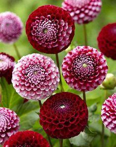 Dahlia Chick a Dee bollen kopen! Bestel nu Dahlia Chick a Dee ! Summer Flowering Bulbs, Summer Bulbs, Summer Plants, Spring Bulbs, Fall Plants, Spring Blooms, Bulb Flowers, Red Flowers, Beautiful Flowers
