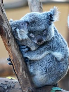 Cutest koala hugging her baby