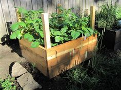 How to Grow 100 Pounds of Potatoes in Only 4 Square Feet